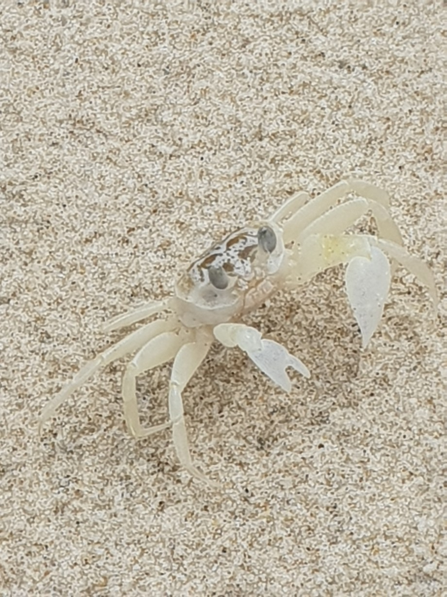 This crab and I scuttled and scurried along the dunes of the beach trying to outsmart each other,...