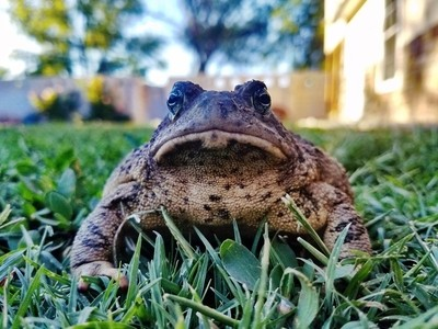 Toad editions
