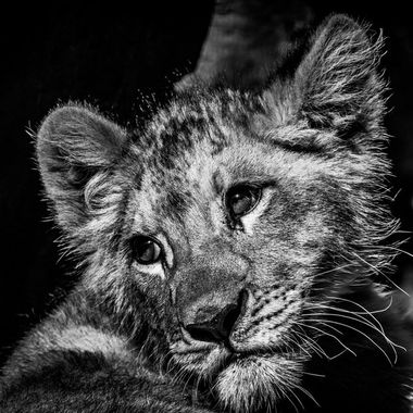 A beautiful portrait of a baby lion cub having a break in the shade in black and white