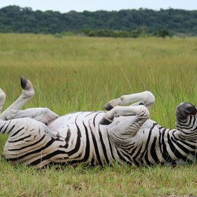 Happy zebra