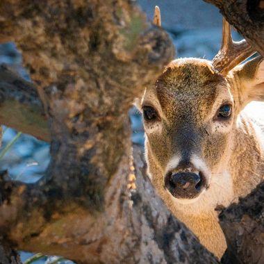 A young white tail buck taking a peek at me near lake Travis, Texas