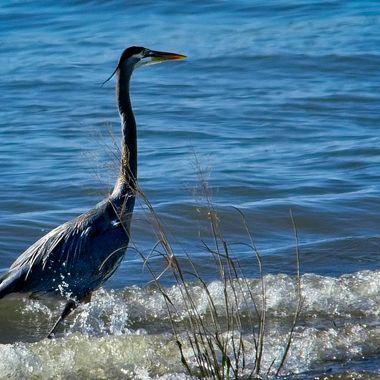 A great blue heron in the lake shore break on Lake Travis, TX