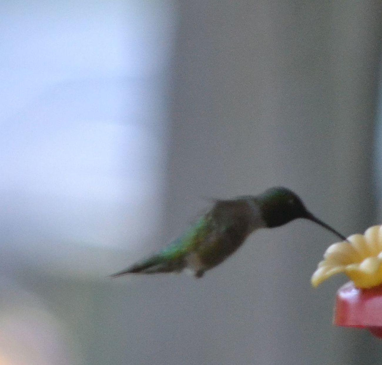 Humming Birds Seeking Nectar