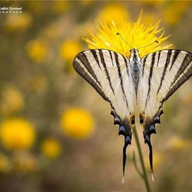 2017. The scarce swallowtail (Iphiclides podalirius) is a butterfly belonging to the family Papilionidae. It is also called the sail swallowt...