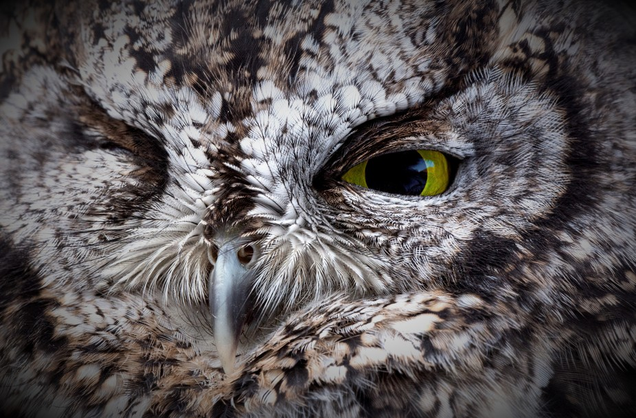 Owl close up (2)