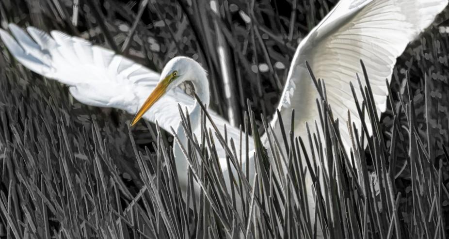Great White Egret, 2018
