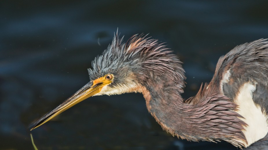 tricolored heron, 2018