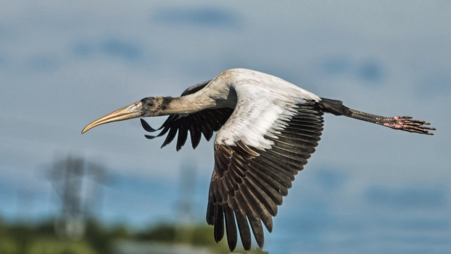Wood Stork, 2018