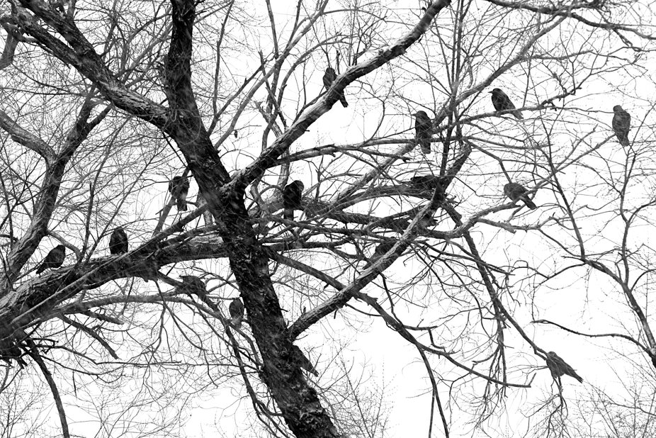 Crows gathered on bare tree branches in falling snow