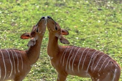 Pair of Nyala Deer Nuzzling