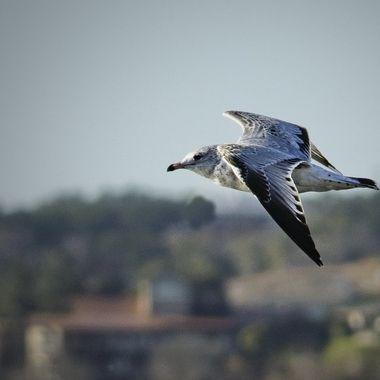 A gull gliding along the shoreline of Lake Travis, Texas
