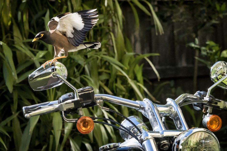 An Indian Mynah bird trying to steal my bike