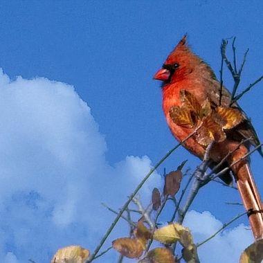 A cardinal surveying his domain near Lake Travis, Texas