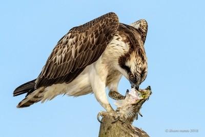 Águia-pesqueira | Osprey | Pandion haliaetus