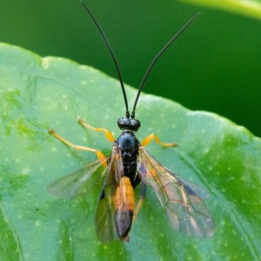 Native Wasp