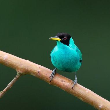 Green Honeycreeper (male) - 9848