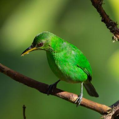 Green Honeycreeper (female) -9238