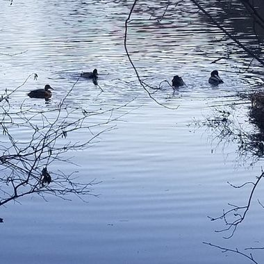 The ducks are fishing