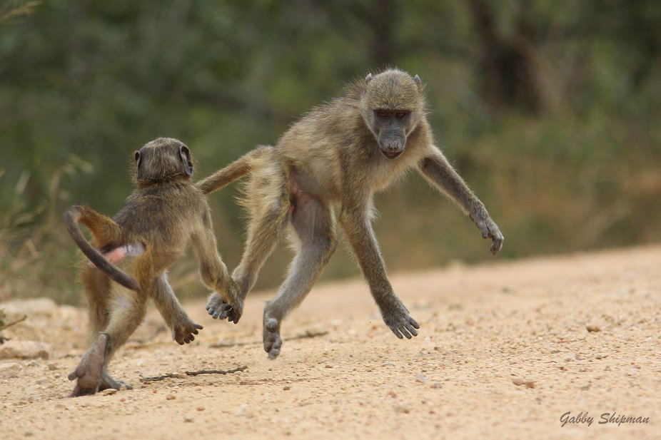 A troop of baboons are in the road. We soon see two baboons play fighting as if they were human b...