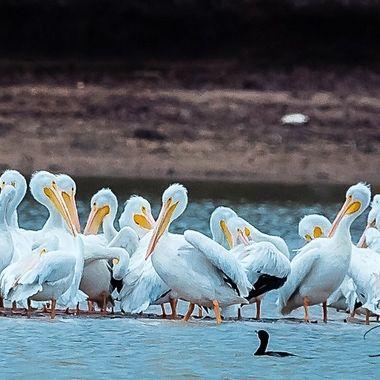 Pelican visit