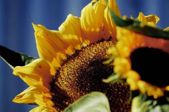 Sunflower, my favorite, it follows the sun