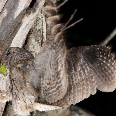 Autillo(Otus scops),ave rapaz nocturna,caza insectos.Ha anidado en un viejo nido de un pajaro carpintero. Barrera de IR y flashes.