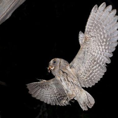 Autillo(Otus scops),ave rapaz nocturna,con una mariposa nocturna como presa.Ha anidado en un viejo nido de un pajaro carpintero. Barrera de IR y flashes.