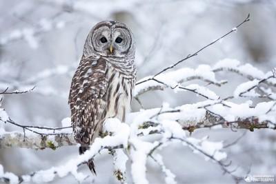 A barred owl on a snowy winter day. Terrace, B.C.