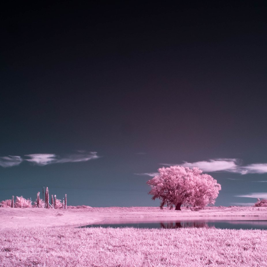 Bubblegum tree