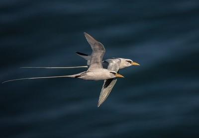 White-tailed Tropicbird.