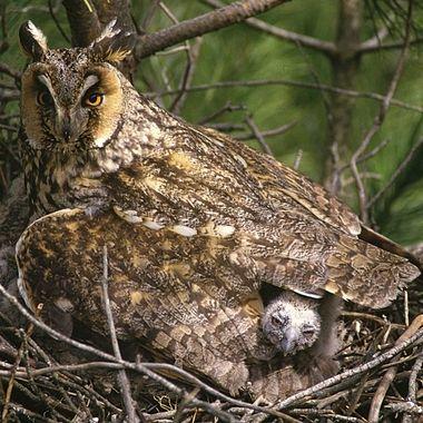 """Adulto de Buho Chico (Asio Otus), con uno de sus pollos asomando. Realizada desde un hide encima de un andamio de 4 mt, delante del pino dónde tenia el nido. Las aves nocturnas suelen aceptar mejor la cercania humana que las rapaces diurnas (Por la noche hacemos menos daño porque somos """"depredadores"""" diurnos). Orinal :Diapositiva"""