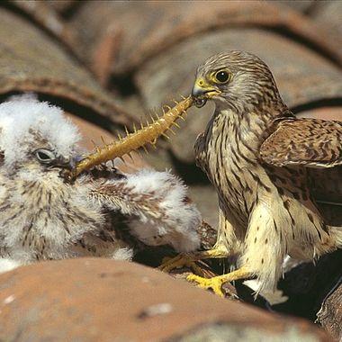Adulto de Cernicalo primilla (Falco naumanni), alimentando al pollo en el nido (Viejos tejados de las construcciones rurales de Castilla). Realizado desde un hide encima de un andamio de 4 mt.Original Diapositiva.