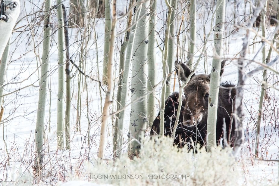 Cleverly hidden in the Aspens and under mama's watchful eye.