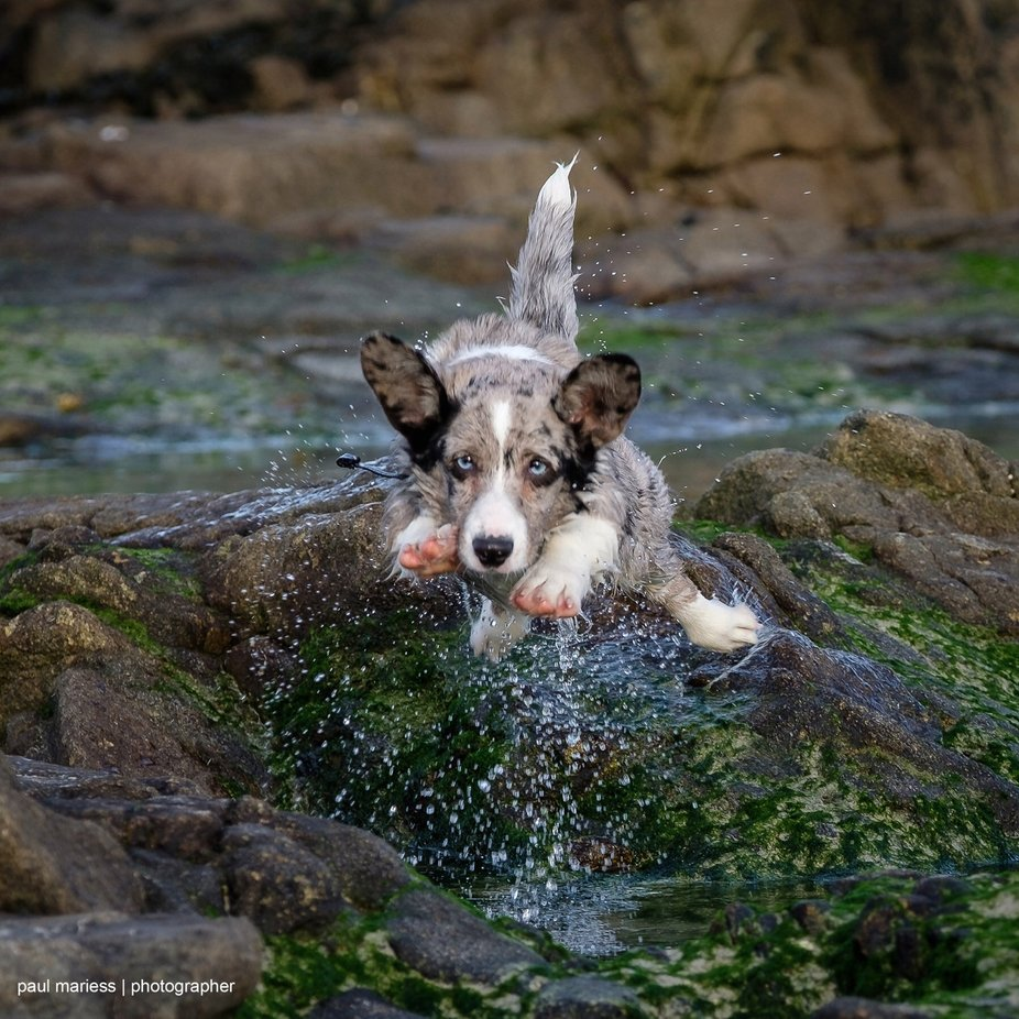 Boris the Corgi by paulmariess - Dogs In Action Photo Contest