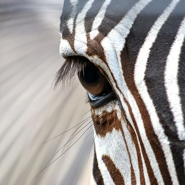 Photo of a zebra