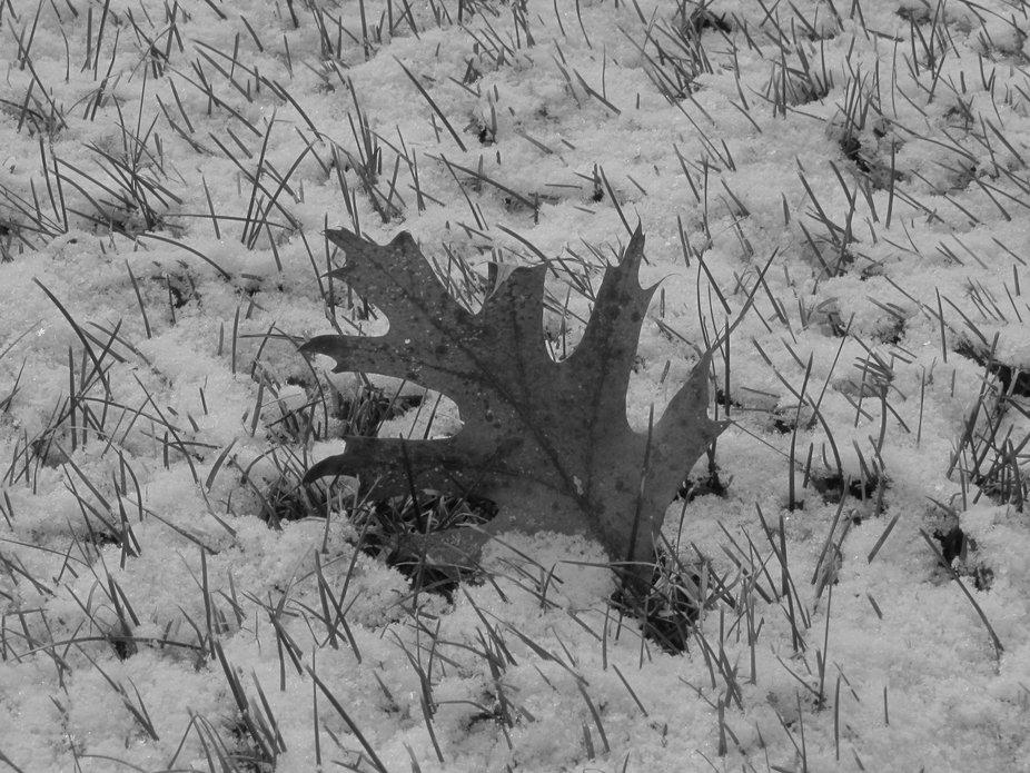 Cold Oak Leaf