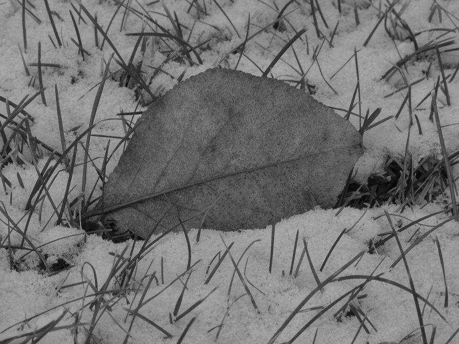 Cold Dogwood Leaf