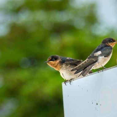 Swallows on the watch