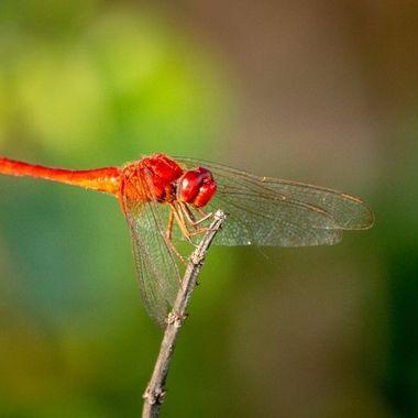 Dragonfly, Bintan island, Indonesia