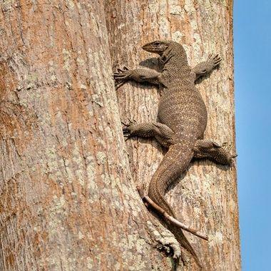 Giant lizard climbing a tree