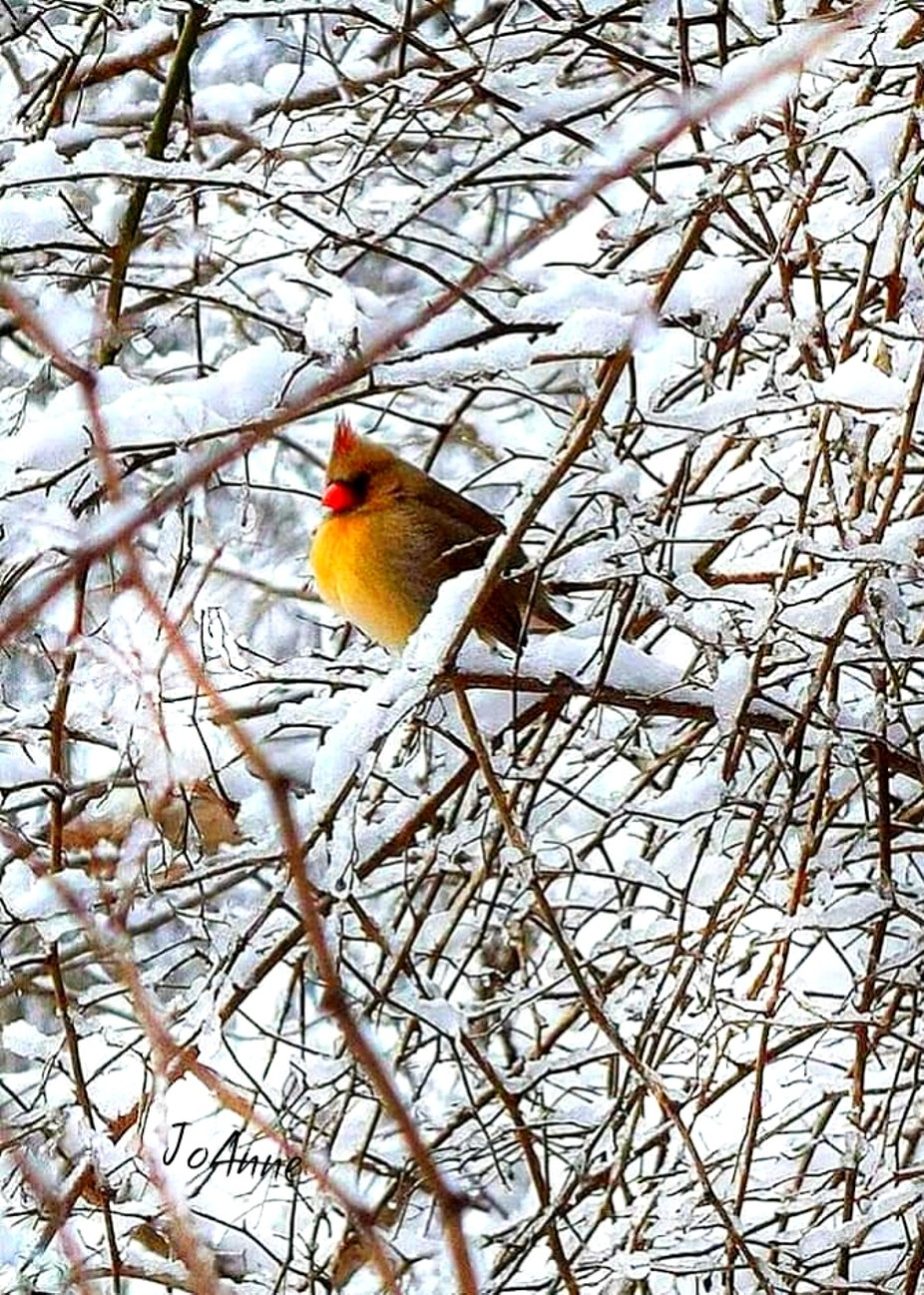 Beautiful plump Cardinal sitting perched on a branch beside me as I was photographing along the r...