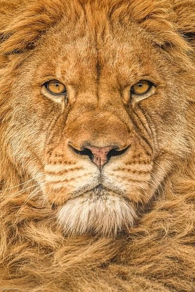 The Lion Of Judah !