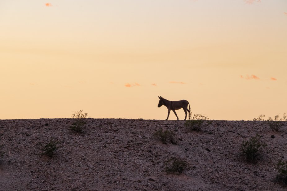 A burro walked along the ridge just as the sun was going down.