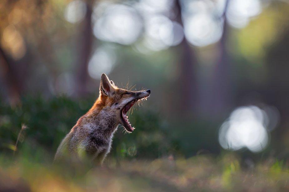 A tired wild red fox (Vulpes vulpes).  More on https://facebook.com/fotomat