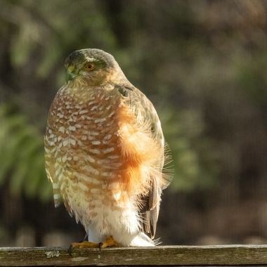 Sharp-shinned Hawk awaits lunch in the burbs