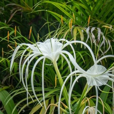 spiderflower, Bintan, Indonesia