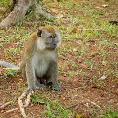 Monkey in Bintan, Indonesia during my walk at the Banyan tree hotel