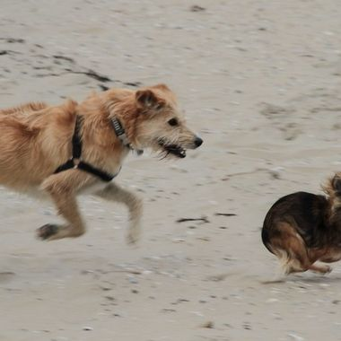 Dogs playing at the beach of Texel, Holland. Not sharp, but the action with the snowball like little dog flying in the air is great!