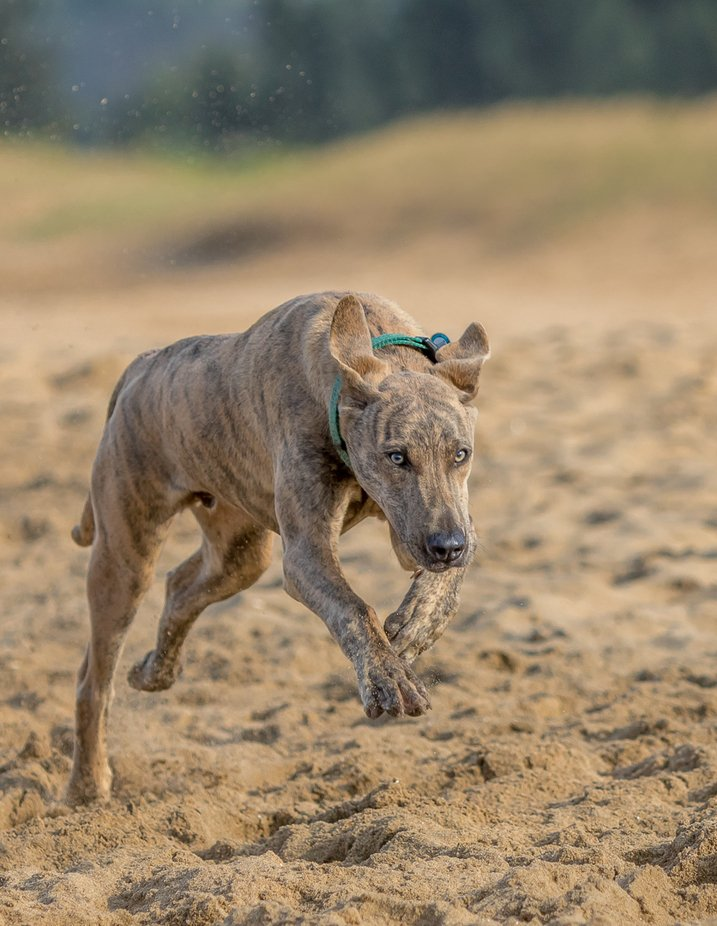 sprinting by Nobbysphotography - Dogs In Action Photo Contest