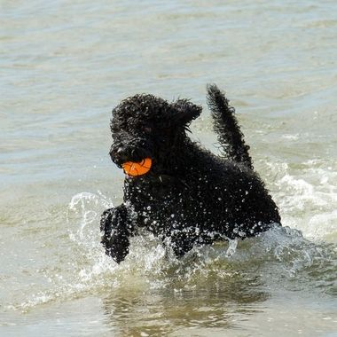 Barbet dog fetching the ball from the sea.